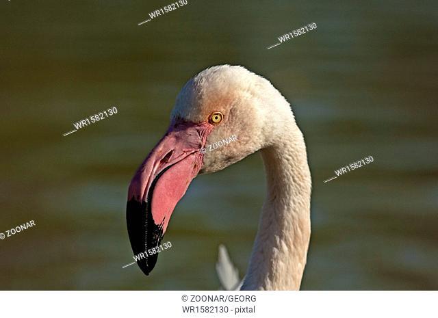 Portrait, Greater Flamingo (Phoenicopterus roseus)