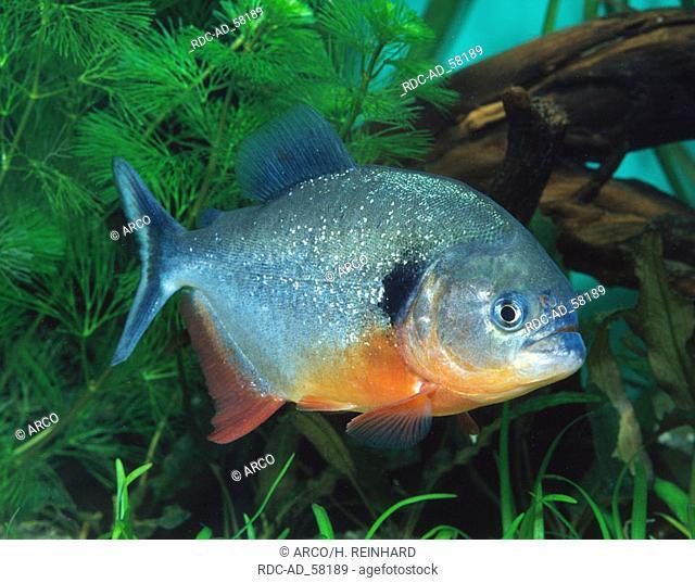 Natterer's Piranha Serrasalmus nattereri Convex-headed Piranha Red-bellied Piranha