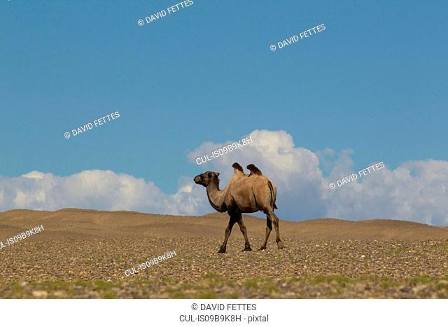 Lone bactrian camel (camelus bactrianus) walking across desert landscape, Khovd, Mongolia