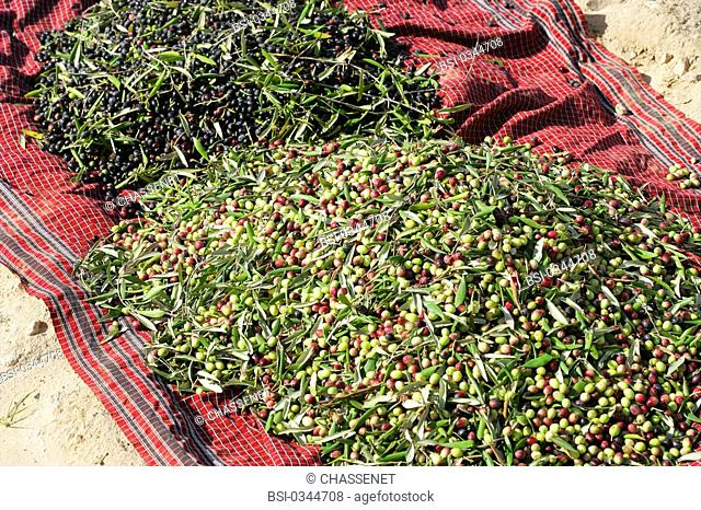 Photo essay. Olive growing in Tunisia. Crop of the olives