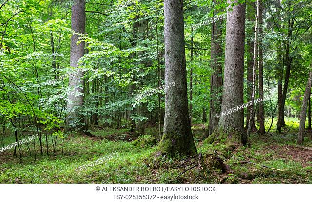Three old spruces in natural late summer forest against juvenile stand, Bialowieza Forest, Poland, Europe