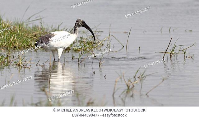 Threskiornis melanocephalus or the Black-headed Ibis - Wading in a river - Botswana