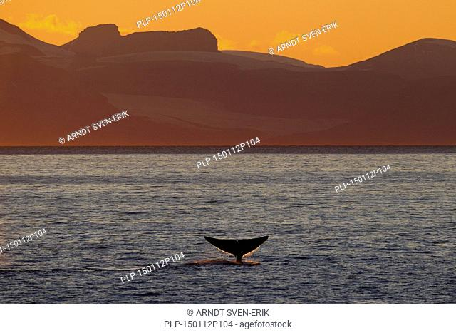 Blue whale (Balaenoptera musculus) lifting its tail flukes to dive for feeding along the Norwegian coast, Norway, Scandinavia