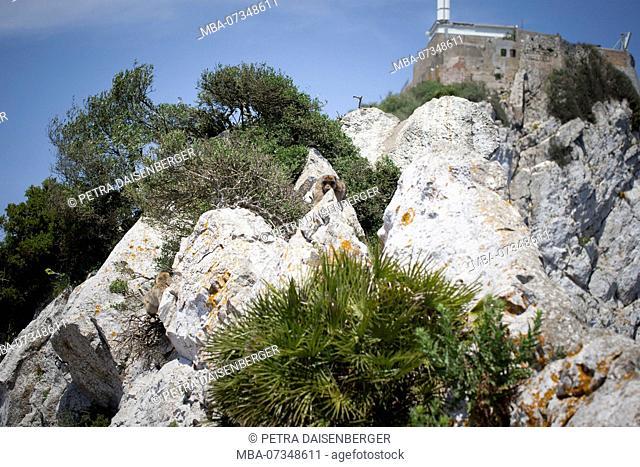 Barbary macaque hiding behind a rock, a macaque (Macaca) living on the peninsula of Gibraltar on the Rock