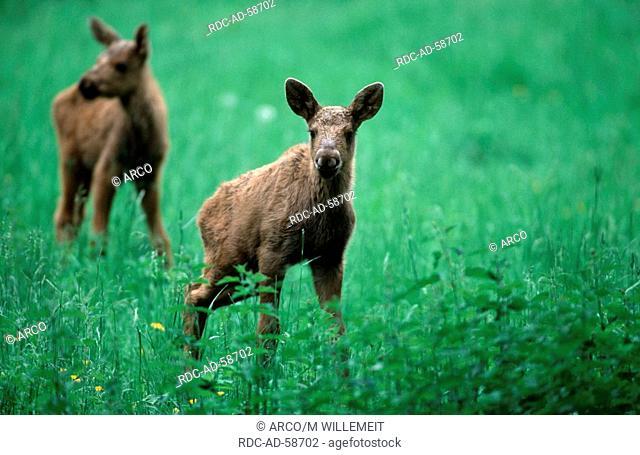 Moose calves Alces alces