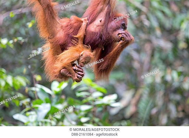 Asia,Malaysia,Borneo,Sarawak,Kuching,Semenggoh Wildlife Rehabilitation Center,Bornean orangutan (Pongo pygmaeus pygmaeus),adult female with baby
