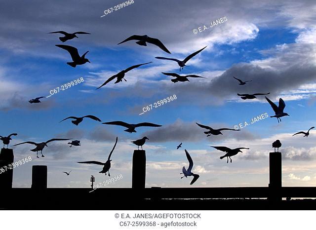 Mixed Gull flock Flight landing on beach Cromer Norfolk early morning
