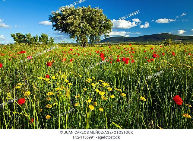Poppies in a meadow, La Serena, Badajoz, Extremadura, Spain