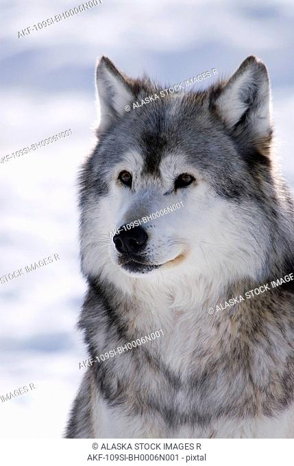 Captive Gray Wolf winter portrait