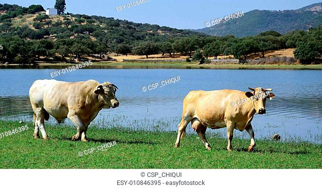 cow and bull - panoramic landscape