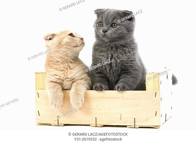 Blue and Cream Scottish Fold Domestic Cat, 2 Months old Kittens standing against White Background