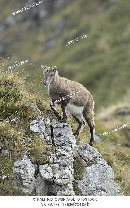 Alpine Ibex ( Capra ibex ), young animal, climbing up a rocky hill in wonderful high mountains range, wildlife, Europe. .