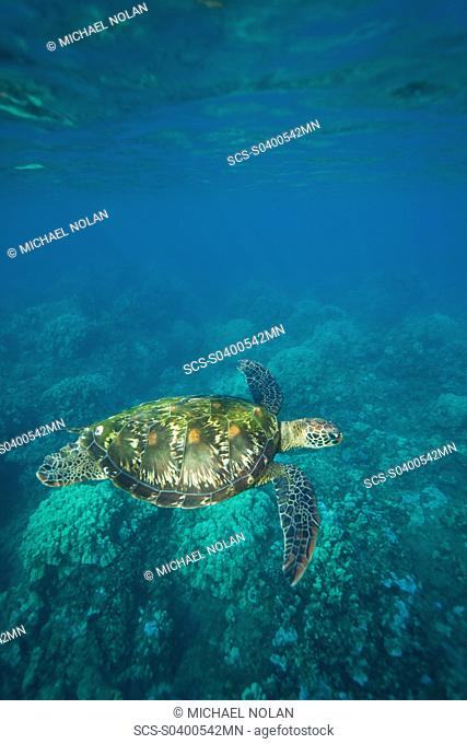 A sub-adult green sea turtle Chelonia mydas in the protected marine sanctuary at Honolua Bay on the northwest side of the island of Maui, Hawaii