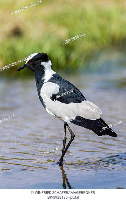 Blacksmith Lapwing (Vanellus armatus), Kaokoland, Namibia