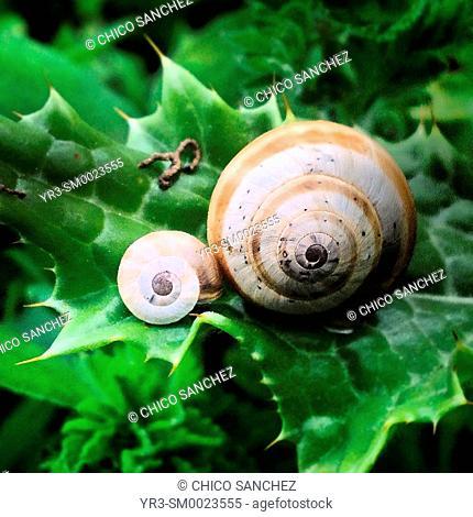 Snails perch on a thorny plant in Prado del Rey, Sierra de Grazalema, Andalusia, Spain
