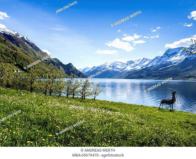 View of snow-covered mountains, fjord and apple trees in bloom, spring, Hardangerfjord near Lofthus, Hardanger, Norway, Scandinavia, Europe