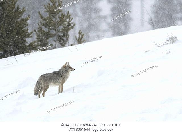 Coyote (Canis latrans ), in winter, standing on a hillside in deep snow, natural surrounding, watching attentively, during heavy snowfall, Yellowstone, USA