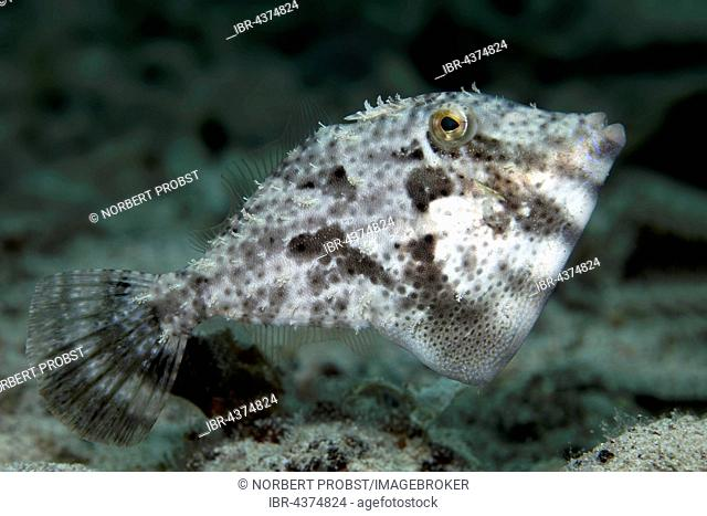 Strap-Weed Filefish (Pseudomonacanthus macrurus), Tukangbesi Archipelago, Wakatobi National Park, Banda Sea, Southeast Sulawesi, Indonesia