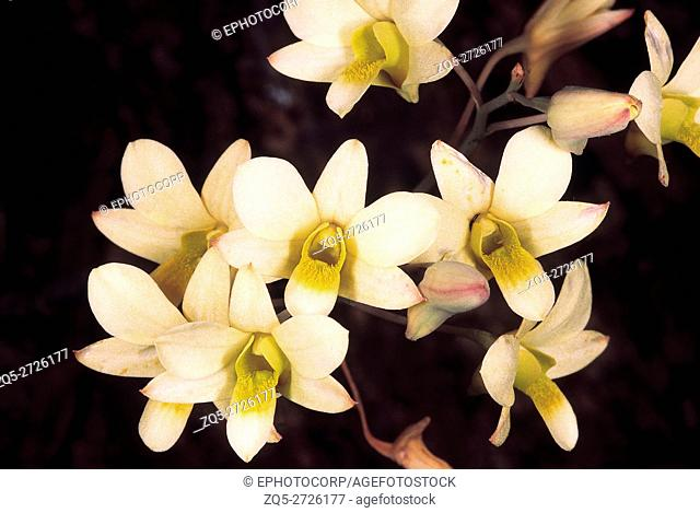 Dendrobium Ovatum. Family: Orchidaceae. An epiphytic orchid with pseudobulbs that flowers in the dry season