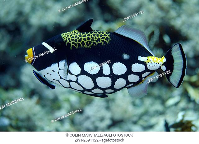 Clown Triggerfish (Balistoides conspicillum) being cleaned by Bluestreak Cleaner Wrasse (Labroides dimidiatus), Tank Rock dive site, Fiabacet Island, Misool