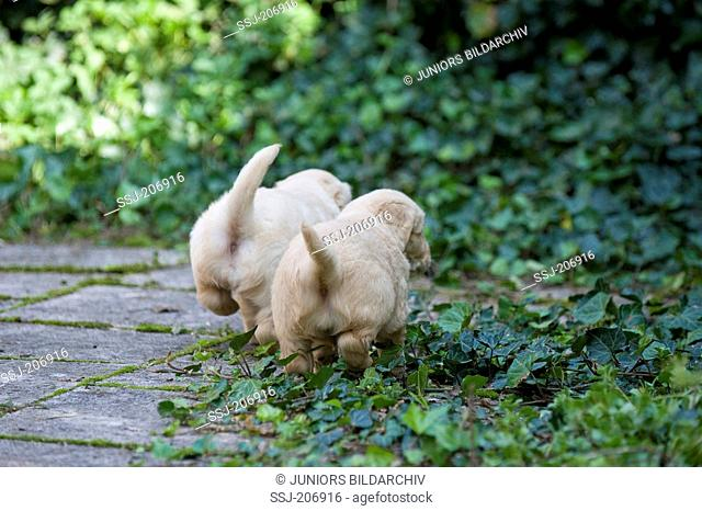 Golden Retriever. Puppies (4 weeks old) walking on a terrace with Ivy. Germany