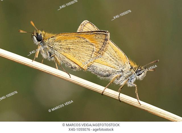 Cópula de la mariposa dorada de línea larga  Small Skipper butterflies mating  Thymelicus sylvestris  Ourense, España