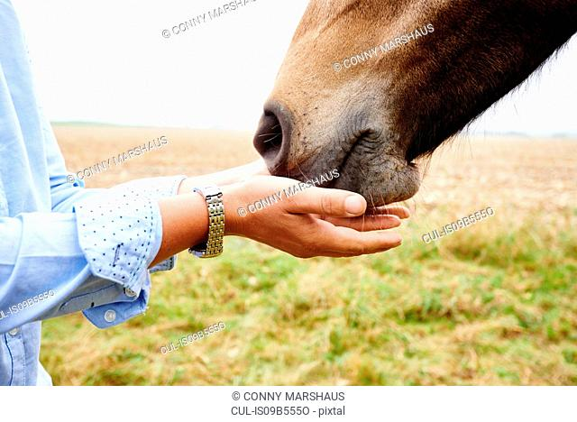 Close up of woman's hands cupped to horse's muzzle in field