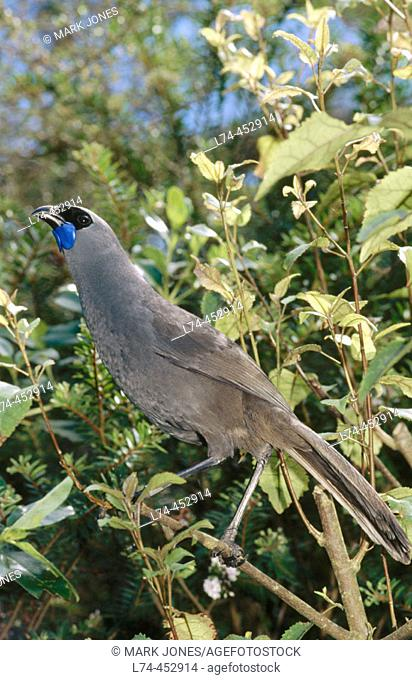 North Island Kokako (Callaeas cinerea wilsoni), endemic captive plant eater singing. Otorohanga breeding facility, North Island, New Zealand
