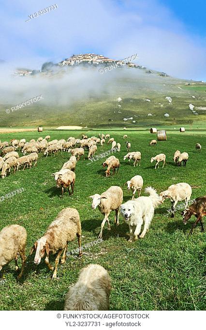 Sheep on the Piano Grande, Gret Plain, of Castelluccio di Norcia, Parco Nazionale dei Monti Sibillini , Apennine Mountains, Umbria, Italy