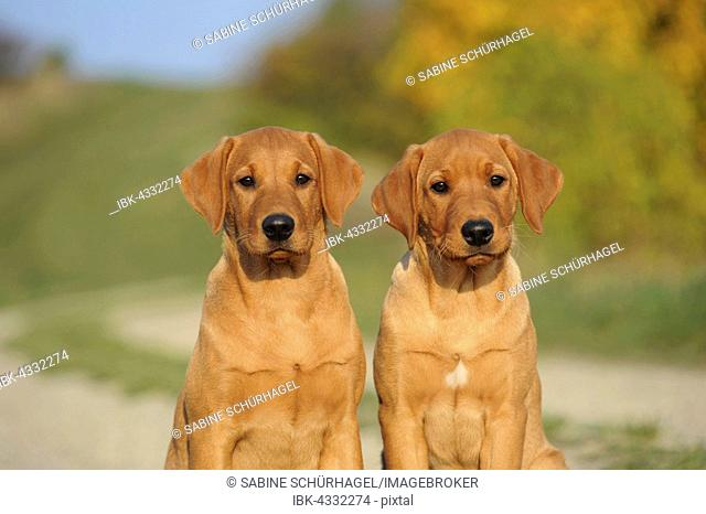 Labrador Retriever, puppies, yellow, male and female