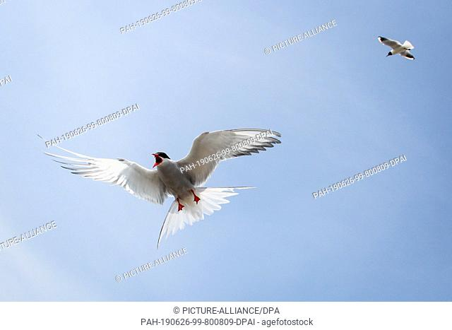 19 June 2019, Schleswig-Holstein, Wesselburenerkoog: Arctic tern fly over a breeding colony at the Eider barrier. A colony of coastal and river terns currently...