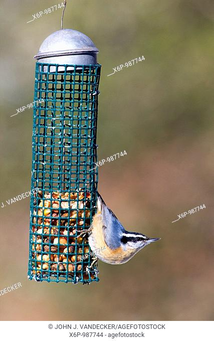 Red-breasted Nuthatch, Sitta canadensis, at bird feeder