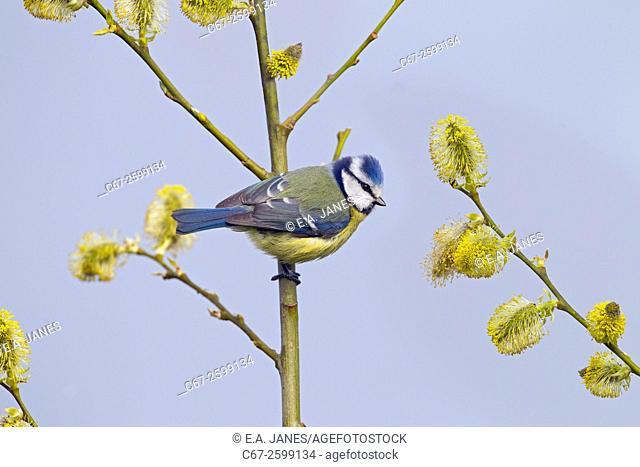 Blue Tit Parus caeruleus on Sallow blossom