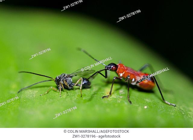 True Bug (Dindymus sp, Pyrrhocoridae Family, Hemiptera Order) on leaf with prey (Eucharatid (parasitic) Wasp, Hymenoptera order