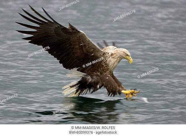 white-tailed sea eagle (Haliaeetus albicilla), catching a fish, Norway, Flatanger