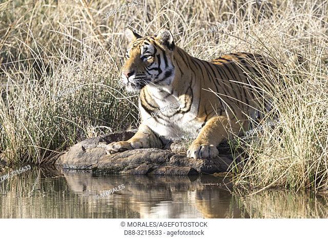 South Africa, Private reserve, Asian (Bengal) Tiger (Panthera tigris tigris), drinking