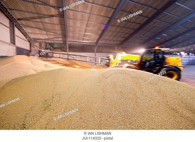 Farm Vehicle Piling Wheat Grain In Store