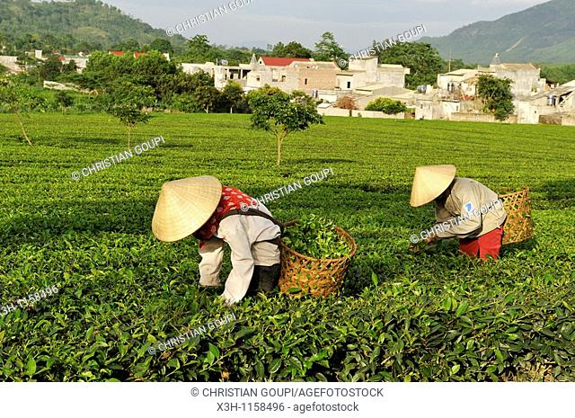 manual harvesting, tea field at Mylam, around Tuyen Quang, northern vietnam, southeast asia