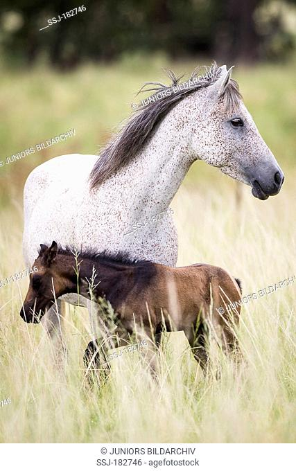 Nooitgedacht Pony. Gray mare with foal standing on a pasture. South Africa
