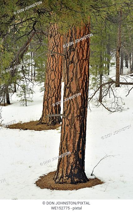 Ponderosa Pine (Pinus ponderosa) Trees on the South Rim in winter, Grand Canyon National Park, Arizona, USA