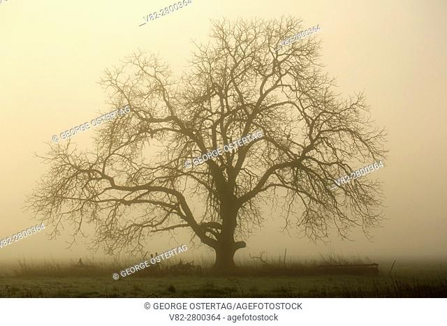 Tree in fog, Marion County, Oregon
