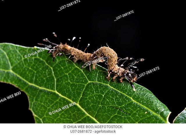 Caterpillar. Image taken at Kampung Skudup, Sarawak, Malaysia