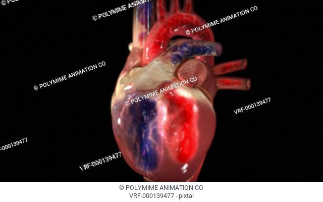 Cutaway heart showing blood flow. Deoxygenated blood blue arrives at the heart from the body through the vena cava, and passes into the right ventricle lower...