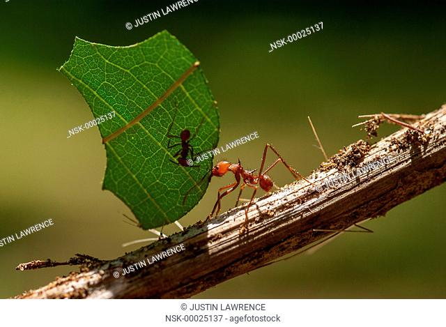 Leafcutter Ant (Atta sp) transporting a leaf back to the colony, Panama