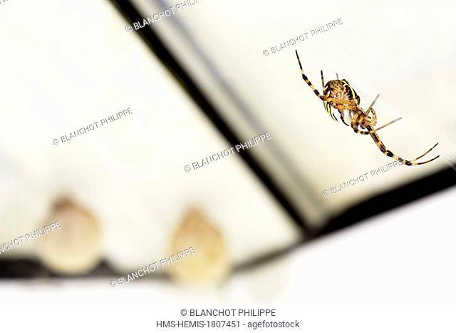 France, Morbihan, Araneae, Araneidae, Wasp spider (Argiope bruennichi), female protecting its two cocoons