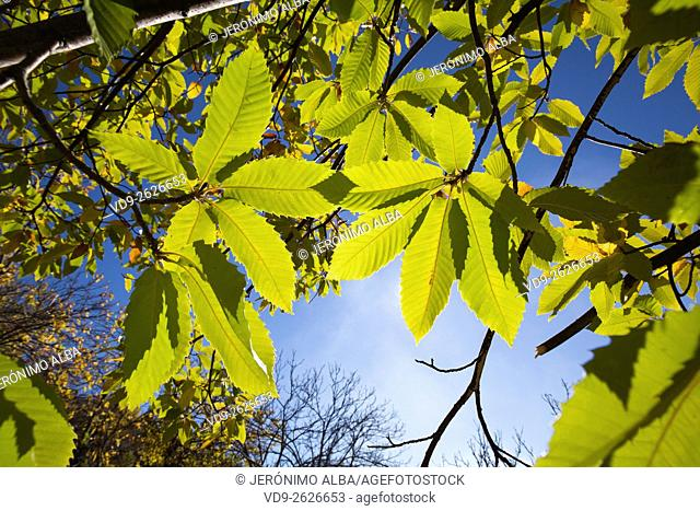 Autumn leaves chestnut forest, Igualeja Genal valley, Serrania de Ronda. Malaga province, Andalusia Southern Spain