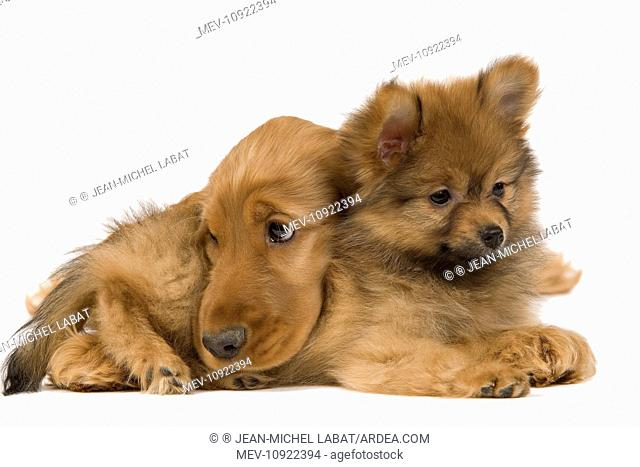 Dog - English Cocker Spaniel - with Dwarf Spitz - puppies