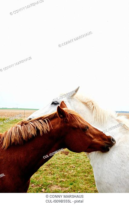 Two horses opposite each other scratching each other's neck