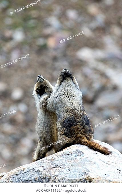 Hoary marmots wrestling