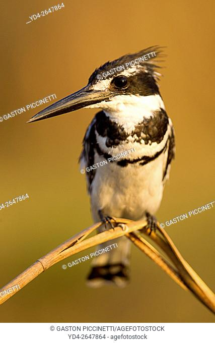 Pied Kingfisher (Ceryle rudis) - Perching at the bank of the Chobe River. Photographed from a boat. Chobe National Park, Botswana